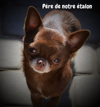 Chihuahua chocolat