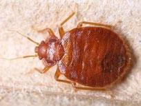 Specimen of Cimex lecturalius