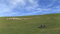 アムド 羊の放牧