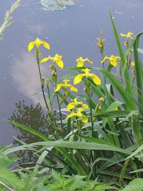 Le lys de France serait un iris des marais. (Source : Katrin WICKER, Licence GFDL)