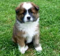 Elo Glatt Therapiehund Schulhund Assistenzhund