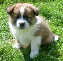 Elo Glatt Familienhund kinderfreundlich mittelgroß
