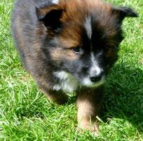 Hund mittelgroß für Familien Elo Welpe