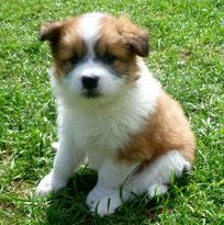 Welpe aus Hausaufzucht Elo Familienhund wuschelig
