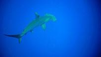 Hammerhai - Foto von Robert Belina