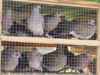Foto: Gefangene Turteltauben, NABU, Waheed Salama