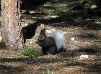 Das Kaibab Eichhörnchen
