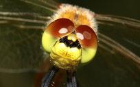 Portrait eines männlichen Jungtieres der Sumpf - Heidelibelle, Sympetrum depressiusculum.