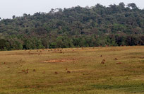 Grassland with many hog deer in Khao Kieo, Chayaphum province Thailand