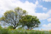 二本の木(万博記念公園の花の丘)