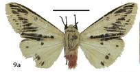 Spilosoma submargininigra (Cerny 2014)