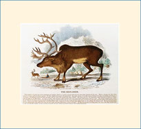 Reindeer, SPCK