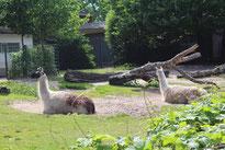 Lamas im Freigehege des ZOO Berlin. Foto: Helga Karl