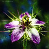 flower nigella fractals painting spring dream nature