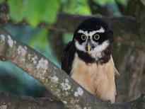 Lanner Falke beim Greifvögelworkshop in Aub