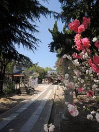 駐車場から、総社宮への参道を通り、お店へ。丁度、紅白のハナモモが花盛り!