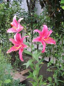 ⑤華やかなピンク色の百合花たちが夏宣言*