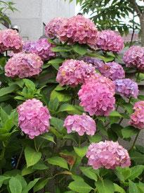 ⑥6月から咲いていた紫陽花も、そろそろ終盤…。