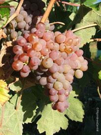 Javoy-Plantes_vignes-anciennes_Clairette-rose_©PépinièresGentié