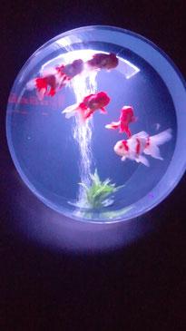 金魚の種類は50~100種類と言われているそうです。