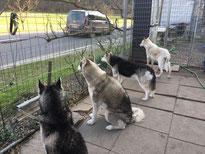 """Am """"Fern-Sehen""""; was da wohl ennet der Strasse wieder los ist? Amarok, Yukon, Borea, Snow, das Quartett aus der Nothilfe Polarhunde Freudenstadt  (Foto Nicole Zarbo)"""