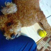 マルくん 7歳 トイプードル 犬 いぬ イヌ ワンちゃん お留守番 ペットシッター 大田区 川崎