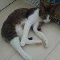 バシルちゃん 7歳 猫 ねこ ネコ にゃんこ お留守番 ペットシッター 大田区 川崎