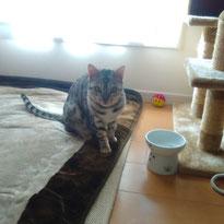 クッキーちゃん ベンガル 猫 ねこ ネコ にゃんこ ニャンコ お留守番 大田区 川崎