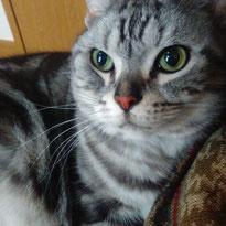 ぎょんくん アメリカンショートヘア にゃんこ 猫 ねこ ネコ