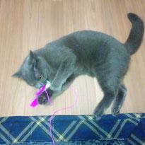 ブリくん ブリティッシュショートヘア 猫 ねこ ネコ 猫ちゃん にゃんこ
