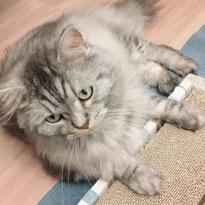 タイガーくん スコティッシュフォールド ねこ ネコ 猫 にゃんこ ニャンコ お留守番 大田区 川崎