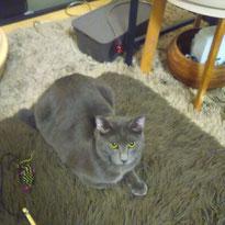 グリくん 5ヶ月 猫 ねこ ネコ にゃんこ お留守番 ペットシッター 大田区 川崎