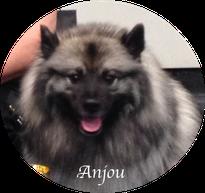 Wolfsspitz Keeshond Loup