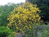 ブラジル桜(東山代町)