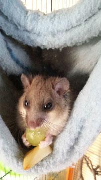 Siebenschläfer in seiner Hängematte beim Obst verspeisen