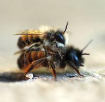 Häufiger Gast an Wildbienen-Nisthilfen: Die Rote Mauerbiene.