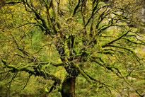 Moosbewachsener Ahornbaum