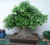 Ficus Retusa fotografato alla Crespi Bonsai