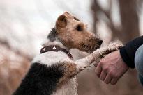 un chien fox terrier pose sa patte sur le bras de son maître coach canin 16 educateur canin à angoulême