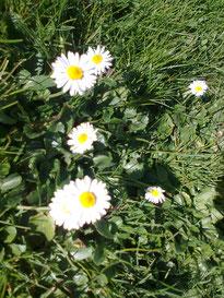 Nr. 15 Gänseblümchen(Bellis perennis)