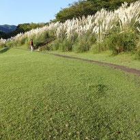 松川湖に咲くパングラス