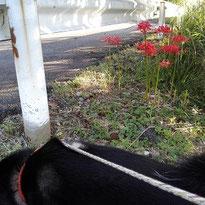 松川湖歩道に咲くヒガンバナ