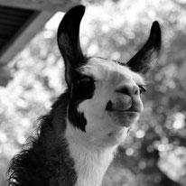 Lamawanderung · Lama-Erlebnis · Lama-Kindergeburtstag · Lama-Events · Tiergestützte pschologische Beratung · Sommerein · Niederösterreich