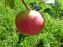 Sonnenwirtsapfel