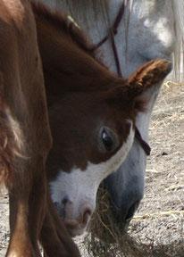 D.M. Shaheen - vendu sous contrat d'élevage en France