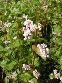 Bio-Buchweizenblüte