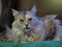 Main Coon Katze