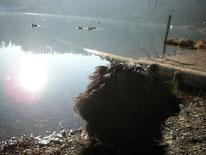 Hund schaut auf See