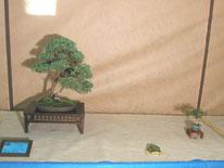 Juniperus chinensis - Amici del Bonsai Castellanza - 1° premio Conifere cat. Amatori