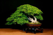 Acero palmato - Bonsai Club Somma - 3° premio latifoglie